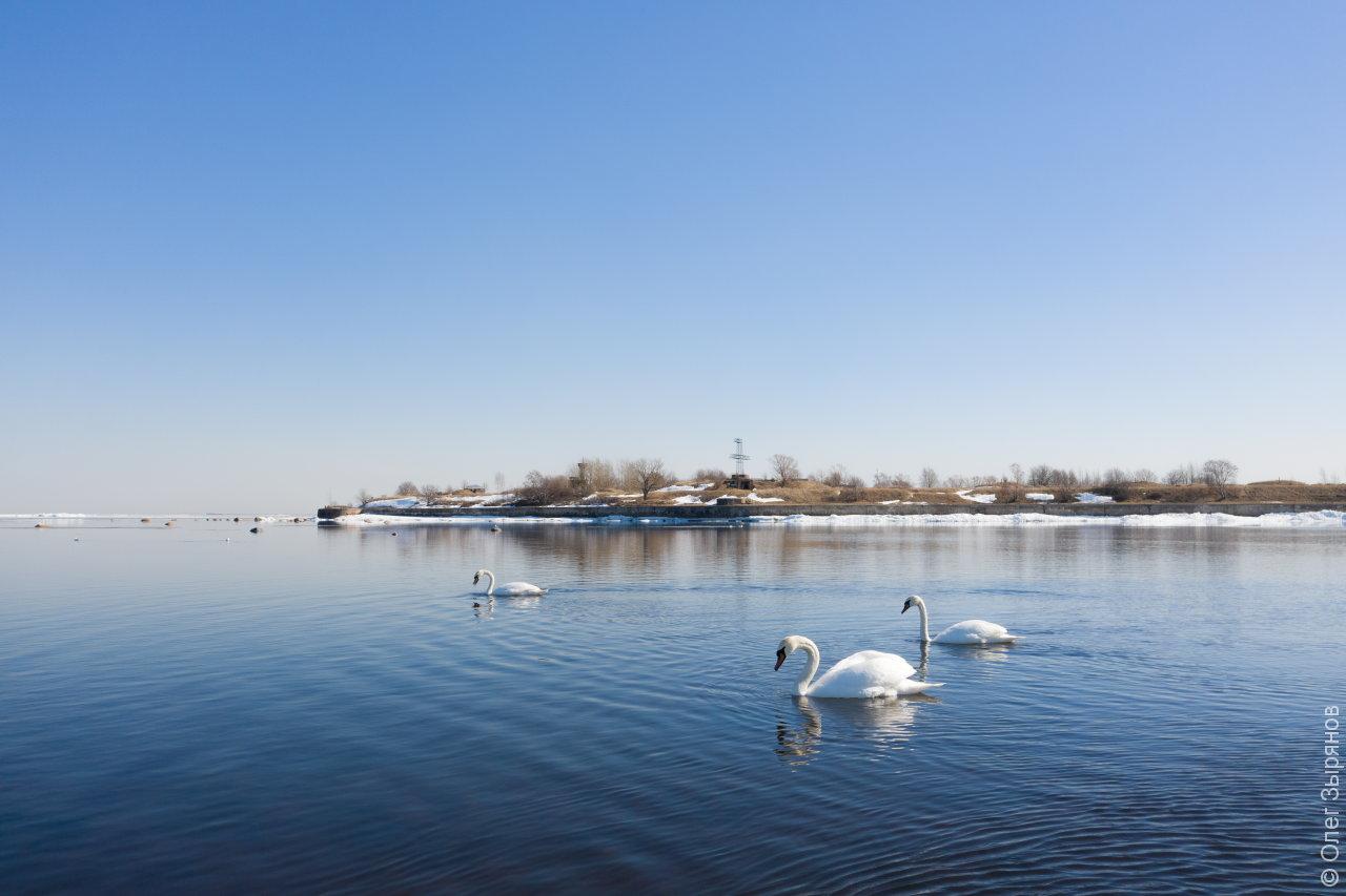 Лебеди в Кронштадте