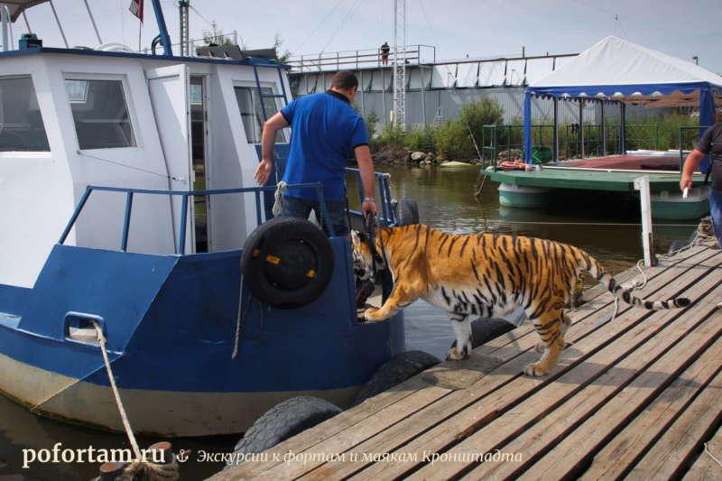 Тигр едет на форт Александр